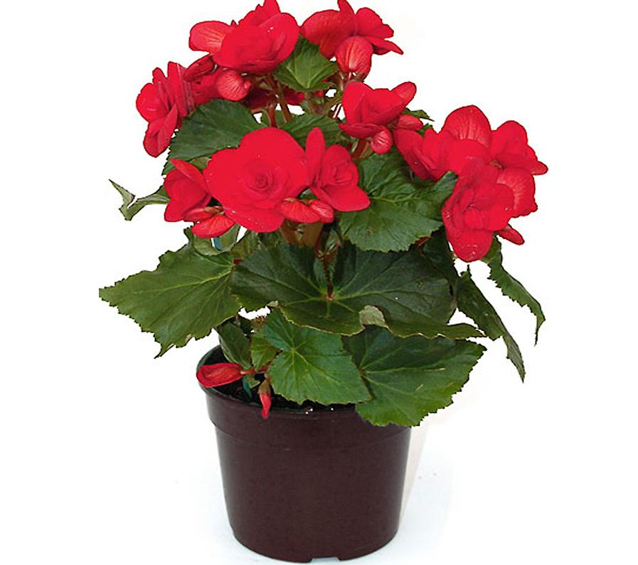 piante fiorite camaflor