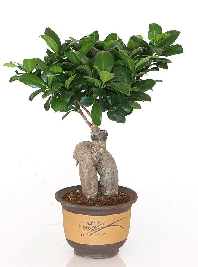 Bonsai camaflor for Dove comprare bonsai