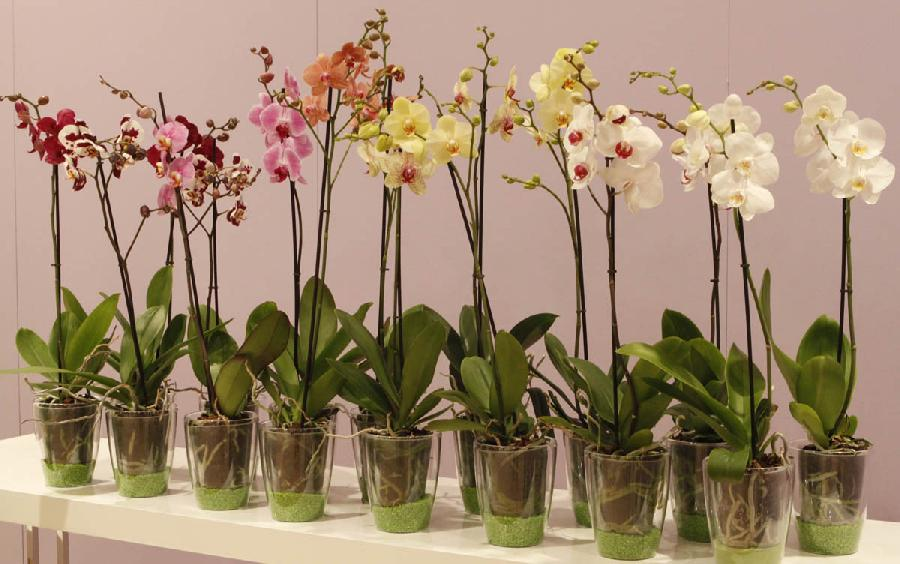 Phalenopsis camaflor for Vasi per orchidee ikea